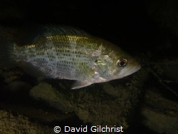 A frequently seen fish in fresh waters, this Rock Bass wa... by David Gilchrist